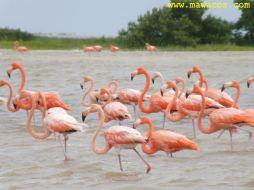 Flamencos / Flamingos
